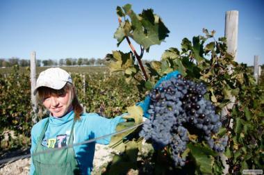 Предлагаю сухое домашние вино из сорта винограда