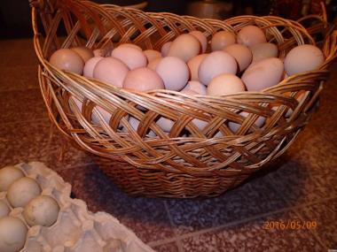 Інкубаційне яйце курей породи Джерсийкий гігант