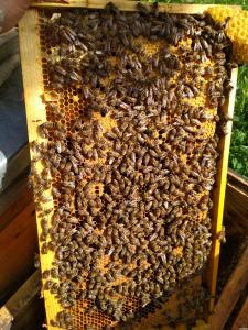продам пчелопакеты Карпатской породы, рамка 230