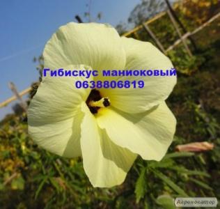 Гібіскус Трав'янистий Манно Лимонний(саджанці і насіння)