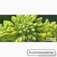 Семена озимого рапса ЛЕМБКЕ гибрид НПЦ 9800