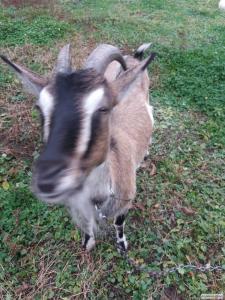 Продам альпійську козу