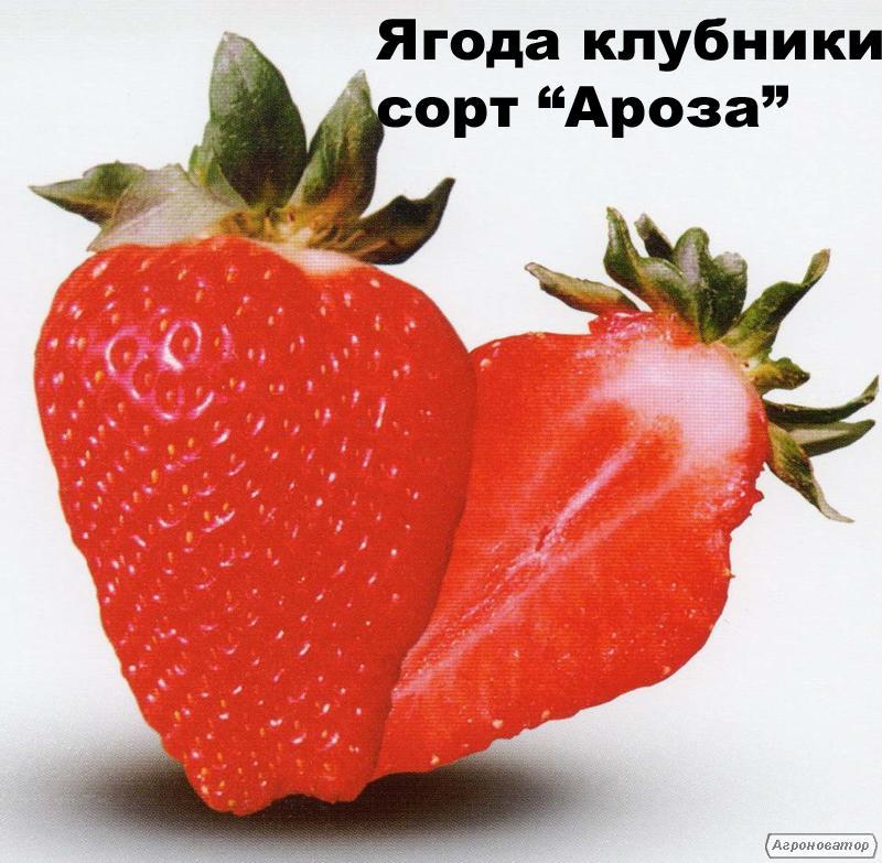 Розсада, саджанці полуниці -ароза, купити в Україні