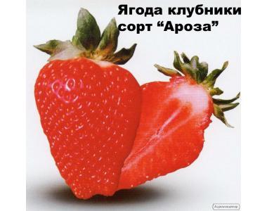 Рассада, саженцы клубники -ароза, купить в Украине