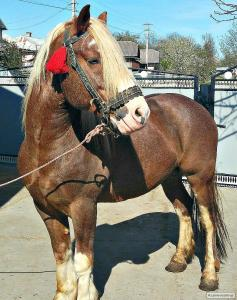 Кінь-жеребець