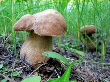 Міцелій Білого гриба дубового (Boletus quercicola)