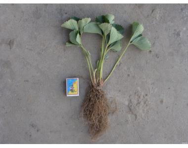 Продам саджанці полуниці (суниці) сорту КЕНТ.