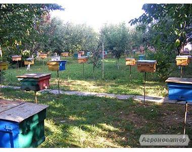 Племенные  Пчеломатки тип Вучковский (карпатка)