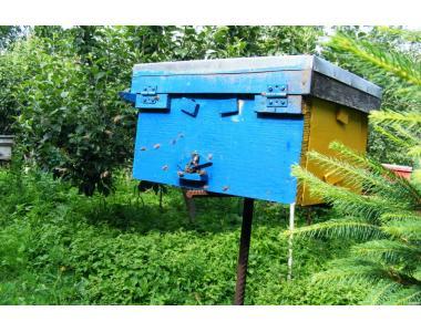 Племінні Бджоломатки тип Вучківський (карпатка)