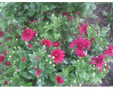 продам рассаду хризантем , кампсиса, эхинацеи, мяты и мелиссы