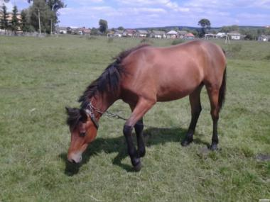 Молодая лошадь
