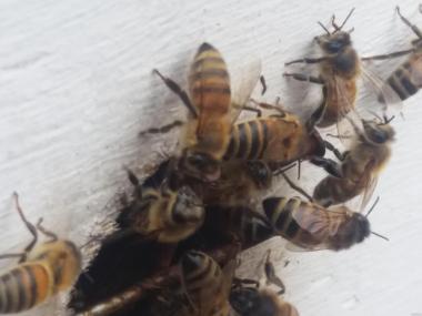 Пчеломатки бакфаст от маток из Германии