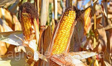 Гран 6 гібрид кукурудзи ВНІС