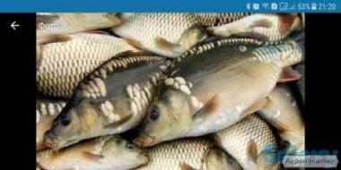 Живая рыба ( опт и розница )
