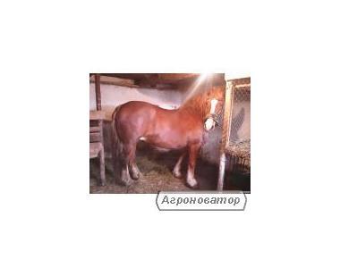 Продам кобилу Новоолександріївського ваговоза