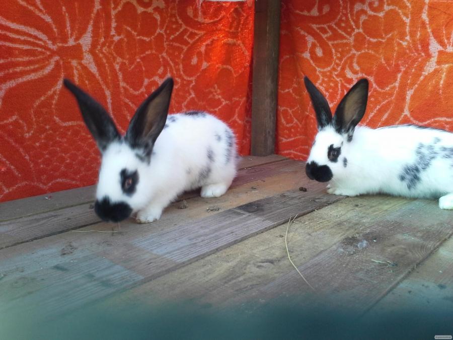 продам кроликів породи метелик строкач
