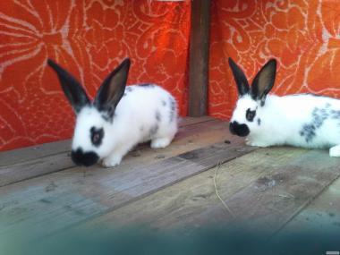 продам кроликов породы бабочка строкач