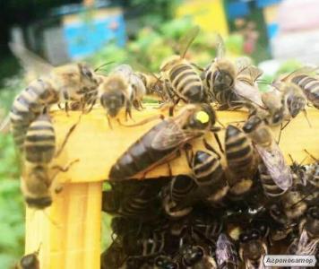 Продам бджолопакети Київська область, Карпатка 15 шт.