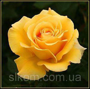 Роза желтая чайно-гибридная Papillon (Папилон)
