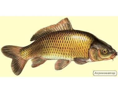Продам живу рибу оптом в період з грудня 2014р.