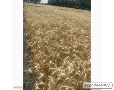 Насіння пшениці озимої - сорт Куяльник. Еліта й 1 репродукція