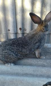 Кролики Бельгийского великана