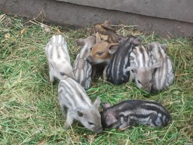 Поросята свиньи свинки породы Мангал и Венгерская Мангалица