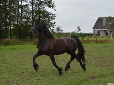 Фризька кобилка жеребая 3,5 років імпорт Голландія