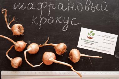 Шафран посевной луковицы 20 штук (шафрановый крокус семена)