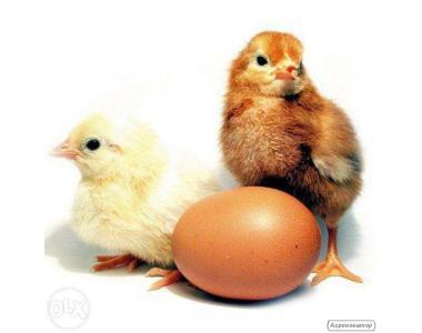 Цыплята бройлера суточные (Венгрия)