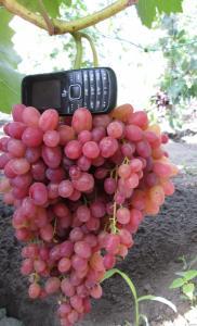 Велес. Кишмиш. Саджанці (розсада) винограду раннього періоду дозрівання.