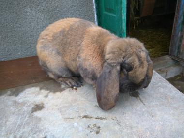 Кролики французский баран мадагаскар