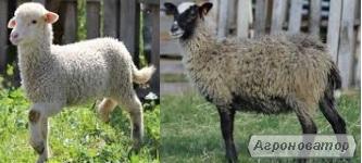 Куплю Романовских и Меринос породы овец.