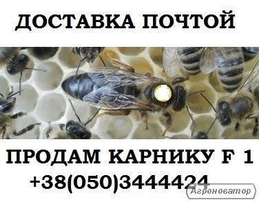 Продам плідні бджоломатки Карніка F1