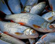 Продаем речную свежую, свежемороженую рыбу оптом и мелким оптом
