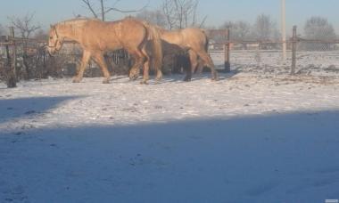 Продам пару солових лошадей
