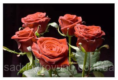 Чайно-гибридная роза сорта Гран-при