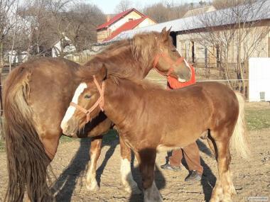 продам кобилу з лошадком