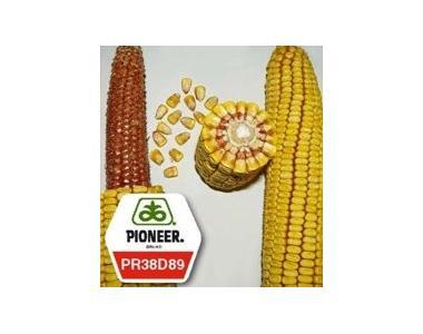 Семена кукурузы Анаста PR38D89 ФАО 330