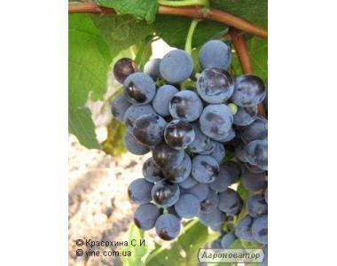 Саджанці винограду Буффало
