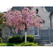 Сакура (японская вишня, Sakura Kanzan).