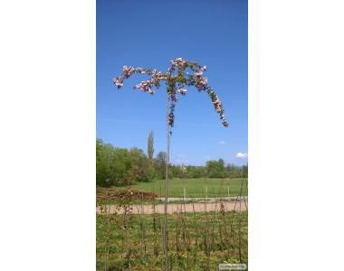 Сакура (японська вишня, Sakura Kanzan).