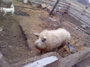 продам свиней венгерской пуховой мангалицы