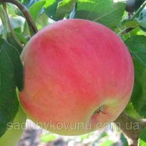 Яблуня Безгуда Двухлетний