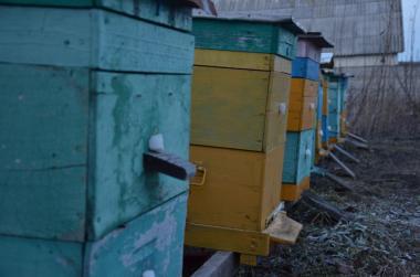 Срочно! Пчелосемьи 10 штук, пчелопакеты