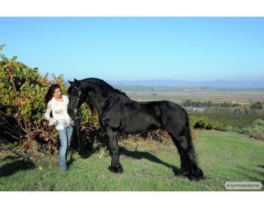 Красивые Frisian Лошади для вас.