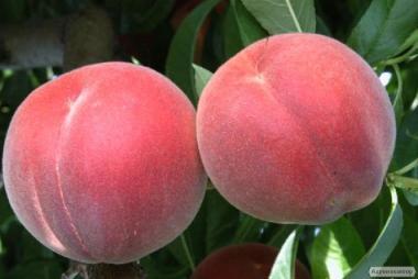 Саджанці персика сорти Алибланка від виробника