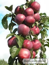 Саджанець колоновидної яблуні Арбат