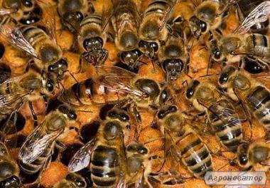 Выгодная цена!!!700 грн. Продажа пчелопакетов и пчелосемей !