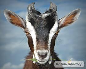 молочна коза